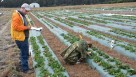 UF/IFAS researchers studying strawberries for cold protection improvement