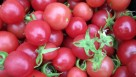 Rambling Rose provides a new attractive pink fruit color not yet available in cherry tomatoes suitable for hanging basket production. Photo credit: University of New Hampshire