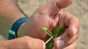 Beneficial Insect Causes Problems On Tomatoes