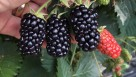 Blackberry 'Prime-Ark Traveler' (AgriStarts)