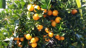 'Valencia-Like' Oranges Setting New Standards In Quality