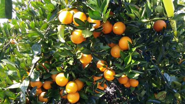 UF/IFAS early Valencia orange clones