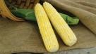 Summer Sweet 8102R Plus sweet corn