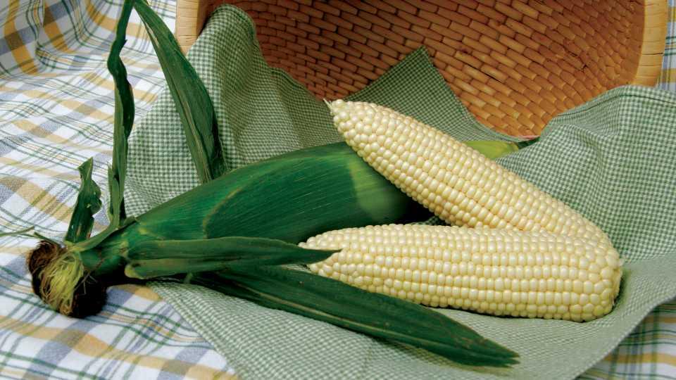 ABCO 844W sweet corn