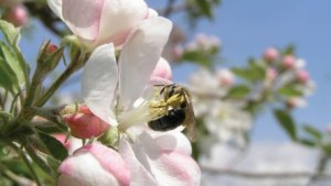 Maintaining Forests, Wildflower Fields Around Orchards Can Boost Pollination