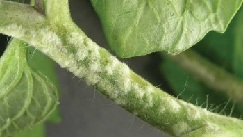 edema on a vegetable plant