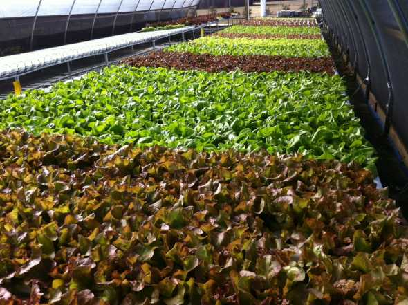 Local Appetite produces hydroponic lettuce and other leafy greens in high tunnels. Photo credit: Local Appetite Growers
