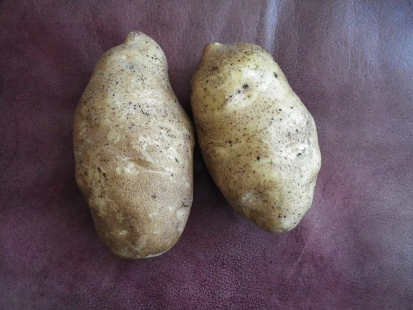 These Russet Burbank potatoes show the elongated tuber type, along with the numerous eyes and the frequently encountered irregularities in tuber shape that is typical of the variety. Photo credit: Phil Nolte