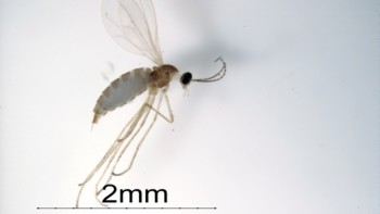 Swede midge, now in Michigan, typically spreads to new areas in infested transplant material.  Photo credit: Susan Ellis, USDA APHIS PPQ, Bugwood.org