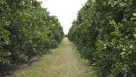 Bethel Farms' citrus grove in Arcadia, FL