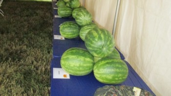 These watermelons were on display at Bayer CropScience Vegetable Seeds' field day, which was held in Florida earlier this month.