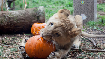 Sakata donated pumpkins to a Washington zoo for animal feedings, toys for the animals, pumpkin carving, fall displays, and activities for children attending the celebration.  Photo courtesy of Sakata Seed America