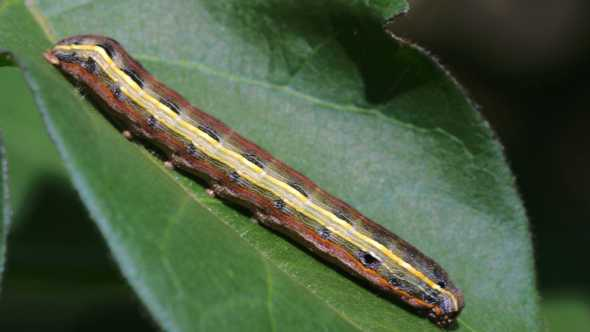 Yellowstriped armyworm on a leaf