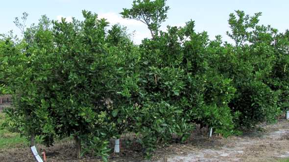 transgenic citrus trees on trial in Florida
