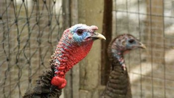 closeup of turkey with another foul in the background