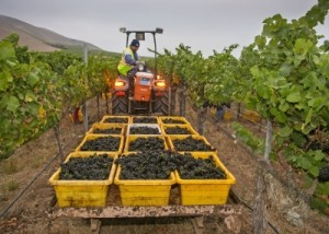 The 2015 California winegrape harvest was early, light, and of exceptional quality. Source: Wine Institute Photo by George Rose