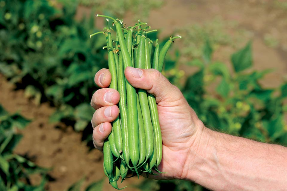 Colter beans from Clifton Seed