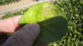 "Downy mildew is also known as ""blue mold"" because of the blueish-purple cast that's typically seen on the underside of the leaf where there is more humidity. Photo credit: Jim Correll"