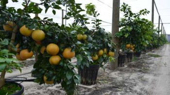 Hydroponic-managed citrus trees at UF/IFAS CREC