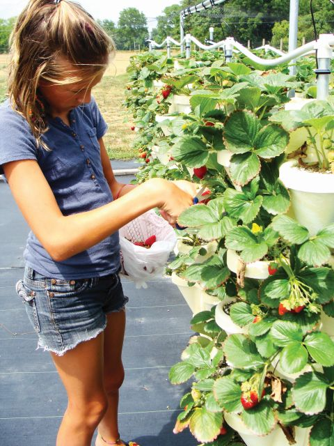 Lisa Conklin of Summer Breeze Strawberries says many customers young and old enjoy the experience of picking fruit without having to bend over. (Photo credit: Maggie Puskas)