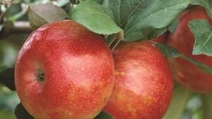 Researcher Uncovers the Origins of 'Honeycrisp' Apple