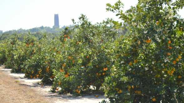 USDA Wheeler Citrus Rootstock Trial in Lake Wales, FL