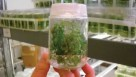 Citrus tissue culture sample