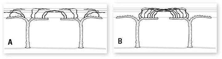 Figure 1. An open gable dry-on-vine trellis system showing vines with non-divided canopies (A), and canopies separated in the Within-Row-Alternate-Bearing (WRAB) style (B).