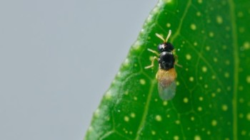 A female Diaphorencyrtus aligarhensis shown here is one wasp that specifically targets the Asian citrus psyllid. (Photo credit: Mike Lewis, CISR, UC-Riverside.)