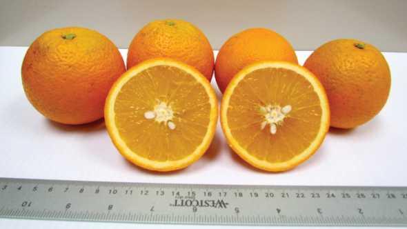 Florida EV1 Valencia hybrid oranges