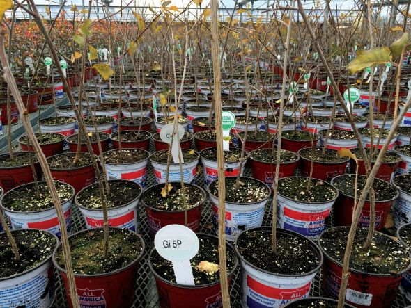 Gisela 5 rootstocks propagated from tissue culture in soilless media in the Phytelligence greenhouse are hardening off in this photo. (Photo credit: Win Cowgill)