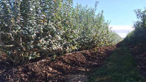 Blueberry plantings using Life Soils fertilizer product