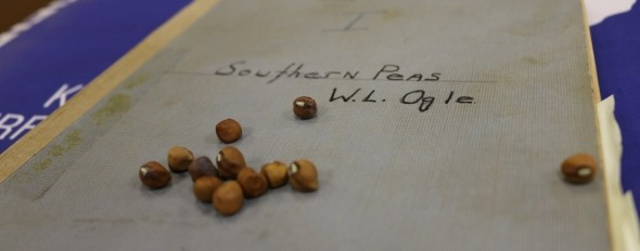 The Ogle Southern Pea is available for growers through the S.C. Crop Improvement Association, a cooperative with Clemson, the U.S. Department of Agriculture and other agencies that develops and distributes seeds to growers. Image Credit: Clemson University