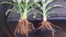 Plant root growth comparison using Quantum Growth fertilizer