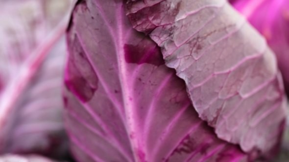Hazera Seeds will highlight Tinty, a unique red pointed cabbage, at the upcoming Fruit Logistica in Germany.