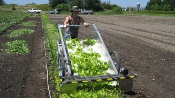 One of the authors of a new study is shown harvesting baby-leaf greens in a field in Washington. Field experiments revealed ways growers can lengthen production seasons for popular salad greens. Photo courtesy of Carol Ann Miles