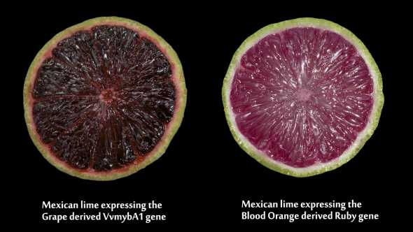 Genetically engineered purple limes using red grapes and blood oranges