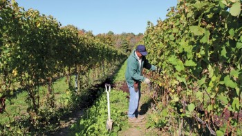 A vineyard worker first cuts the young canes out of the trellising. (Photo credit: Christina Herrick)