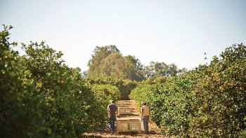 Sunkist organic lemons being harvested at the Donlon Ranch in Ventura County, CA by Jane and Ned Donlon, 5th and 6th generation growers, respectively.