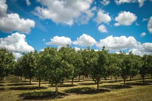 This year, 2016, appears to be a far more normal year for pistachios than 2015, which saw very low yields. (Photo credit: American Pistachio Growers)