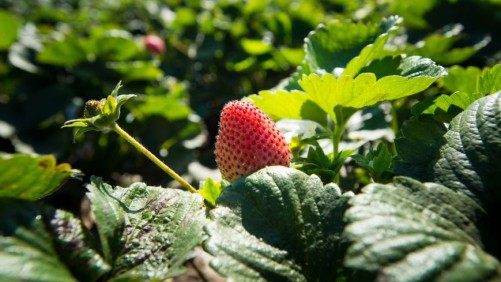 Strawberry Growers Group Gearing up for Summer Tour