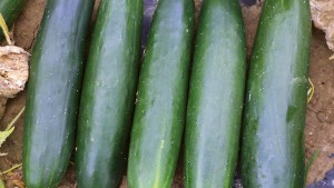 13 Of The Latest Cucumber Varieties
