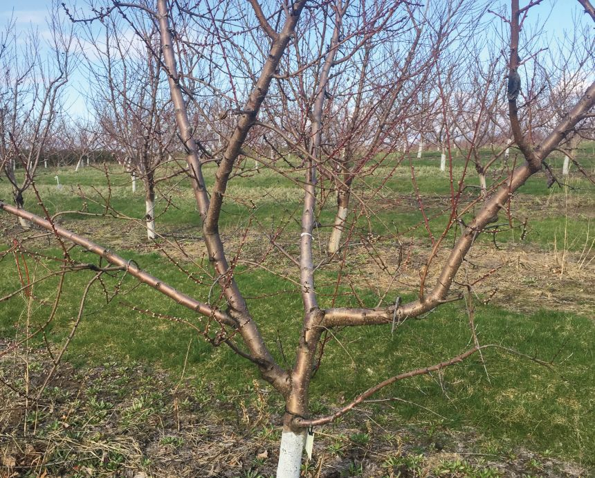 Georgia Peach Growers Brace for Low Chill Hours - Growing