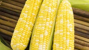 22 Sweet Corn Varieties You Need To Know