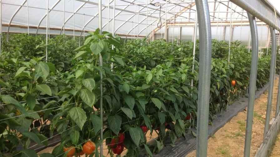 High Tunnel Bell Pepper Trial Highlights Varieties Best