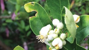 Bactericide Breakthrough Sweet News For Florida Citrus Growers