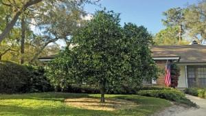 Dealing With The Dooryard Citrus Dilemma