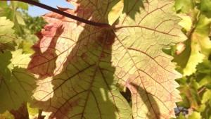 Vector Transmitting Red Blotch Virus Found