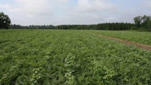 Tactics For Successful Seedless Watermelon Production