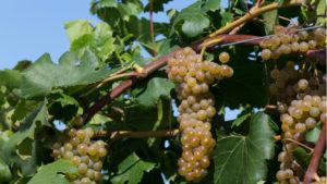 Minnesota Has New Cold-Hardy, Lower-Acidity Grape